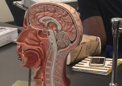 A model prop of a human brain sits on a teachers desk.