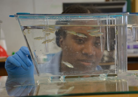 A photo of a student looking through a tank of zebrafish.